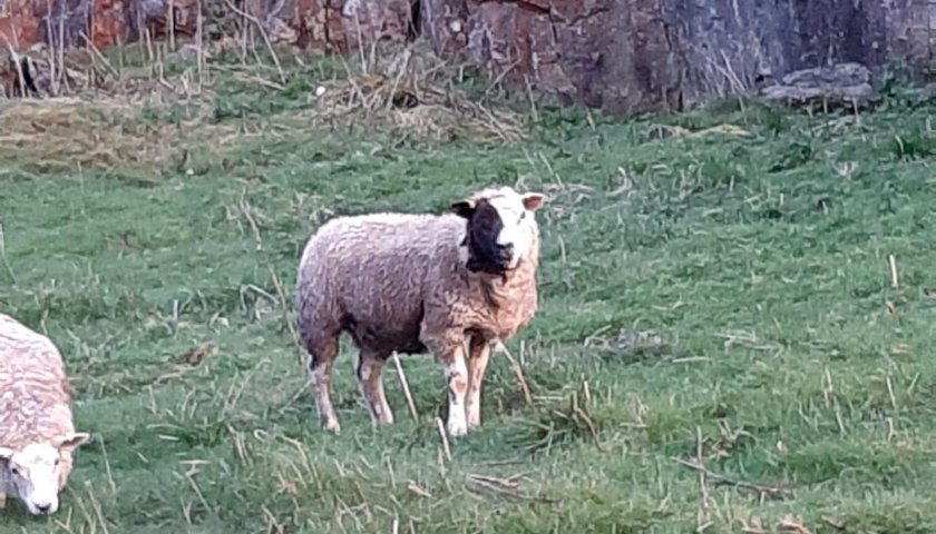 Sheep X 2