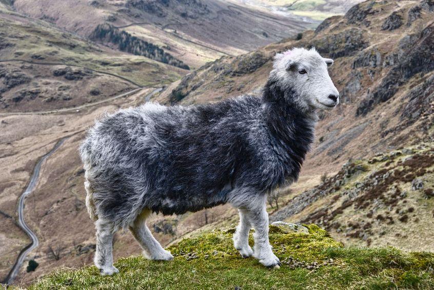 Herdwick Sheepskin Buyers Guide To Sheepskins Amp Hides