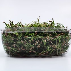 Fresh Micro Fennel Microgreens 30g