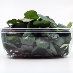 Fresh Micro Nasturtium Leaves Microgreens 15g