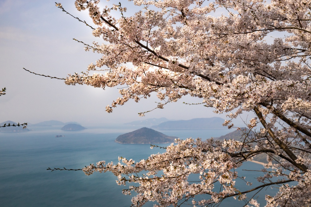 cherry blossoms in southern japan in 2020