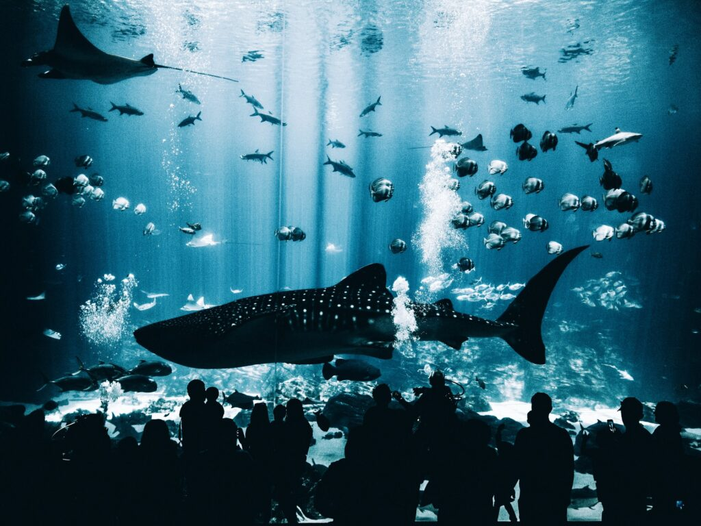 A whale shark at Georgia Aquarium, on of the best Aquariums in the world