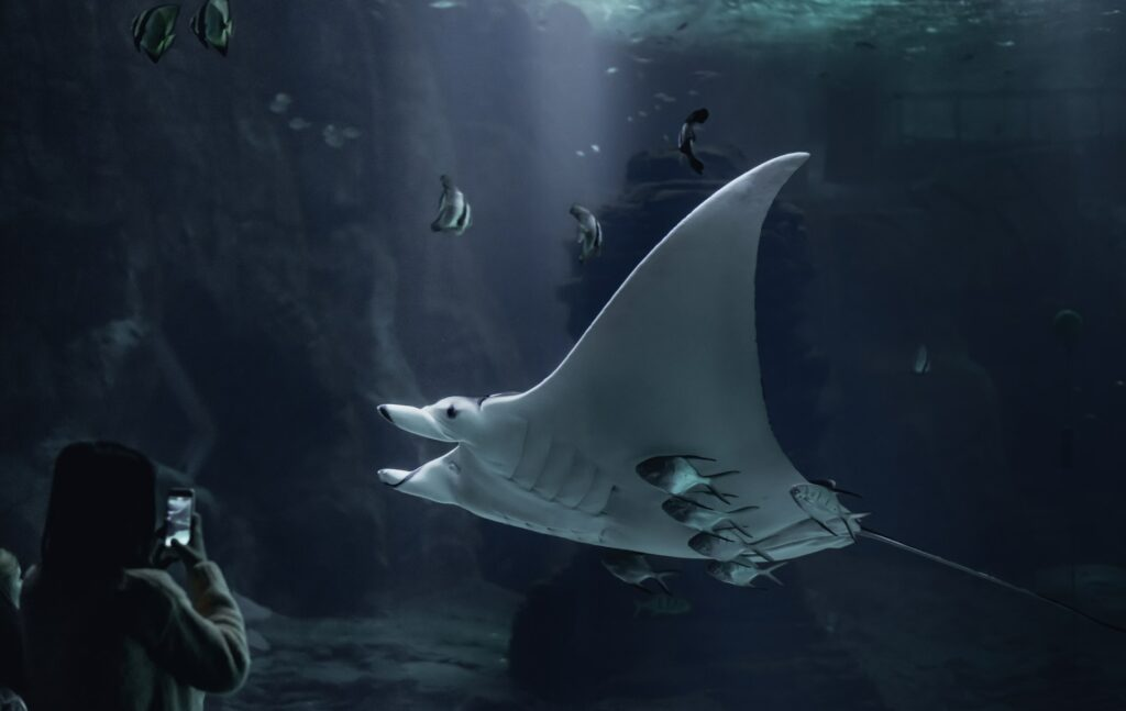 Giant manta ray at Nausicaá