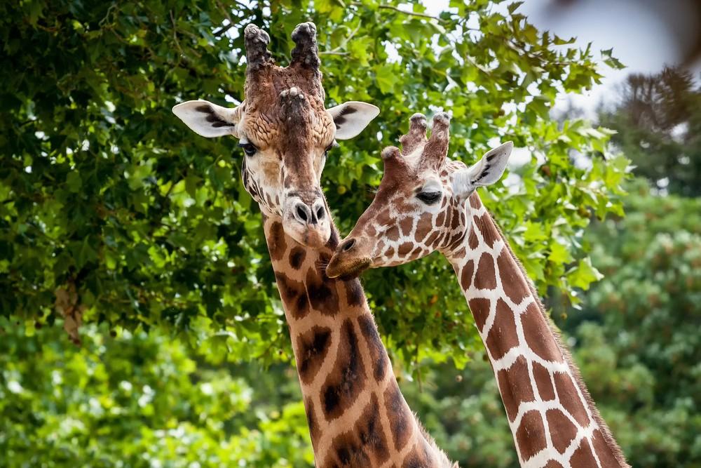 Two friendly giraffes.