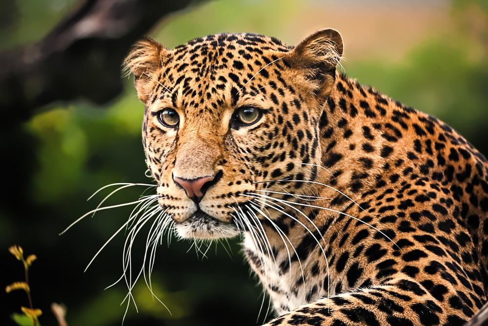 A Javan leopard.