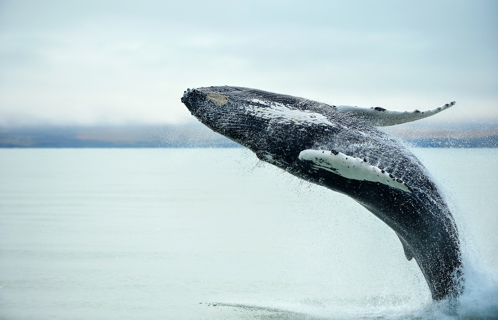 Amazing Whale Watching Tours in Iceland