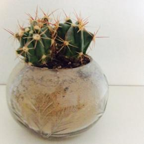 Kaktus i glas. Str.: ca. 10x13 cm. - København - Kaktus i glas. Str.: ca. 10x13 cm. - København