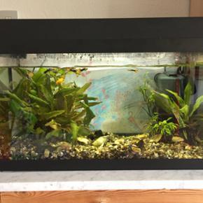 60L akvarium (30x60x31 cm). Der medfølg - Thisted - 60L akvarium (30x60x31 cm). Der medfølger helt ny varmelegeme, pumpe med ekstra filter, net, foder og planter samt ti guppyer der avler. - Thisted