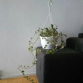 En flot planter ( ikke kunstig) Kom med  - København - En flot planter ( ikke kunstig) Kom med et bud vokser rigtig godt Tag gerne et kig på mine andre annoncer - København