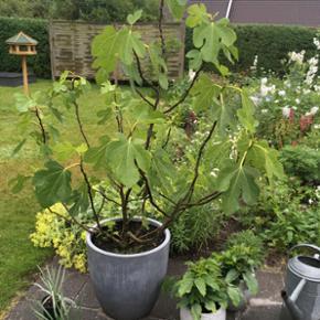 Stort figentræ med krukke. Den har tage - Kolding - Stort figentræ med krukke. Den har taget mange år om at blive så stor. Mp 500kr. - Kolding