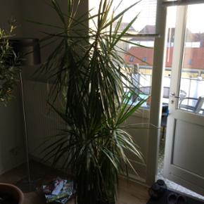 2m høj grøn plante sælges grundet fly - Haderslev - 2m høj grøn plante sælges grundet flytning.. Trænger til ny potte.. - Haderslev