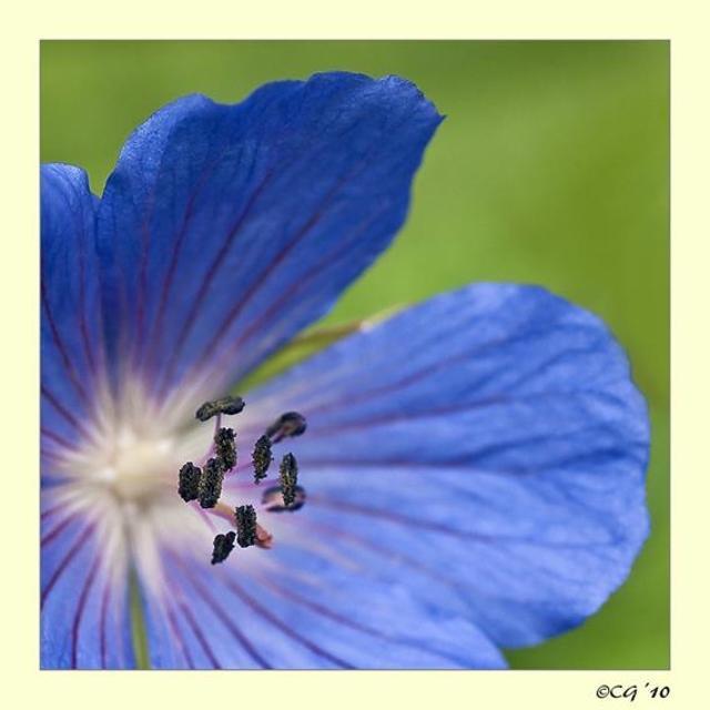 blaa blomst