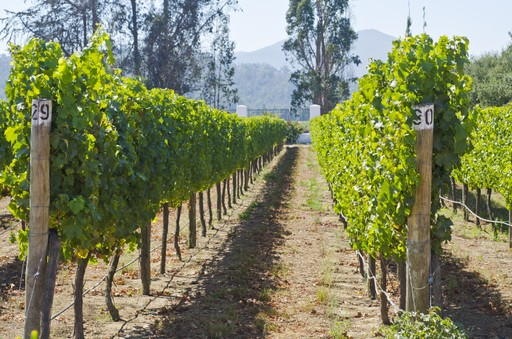 Vines in Chile