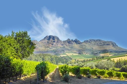 Vines in Stellenbosch South Africa