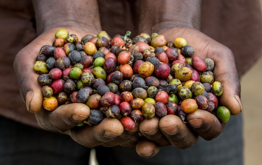Coffee grown at Sipi Falls, Uganda