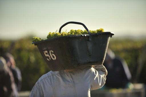 Argentine - Grape Harvest