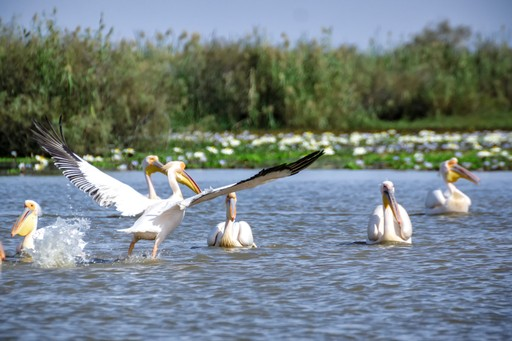 Pelicans in Senegal