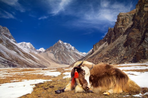 Yak - Bhutan Mountains