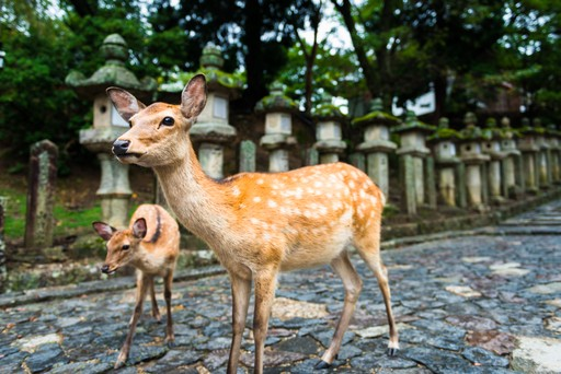 Sika deer and fawn in Nara Park