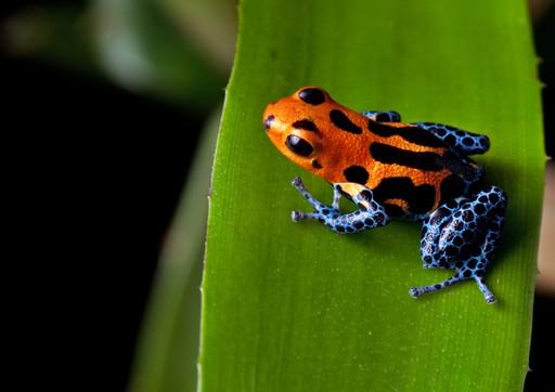 Frog Peruvian Amazon