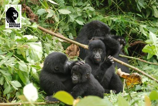 Gorilla troop