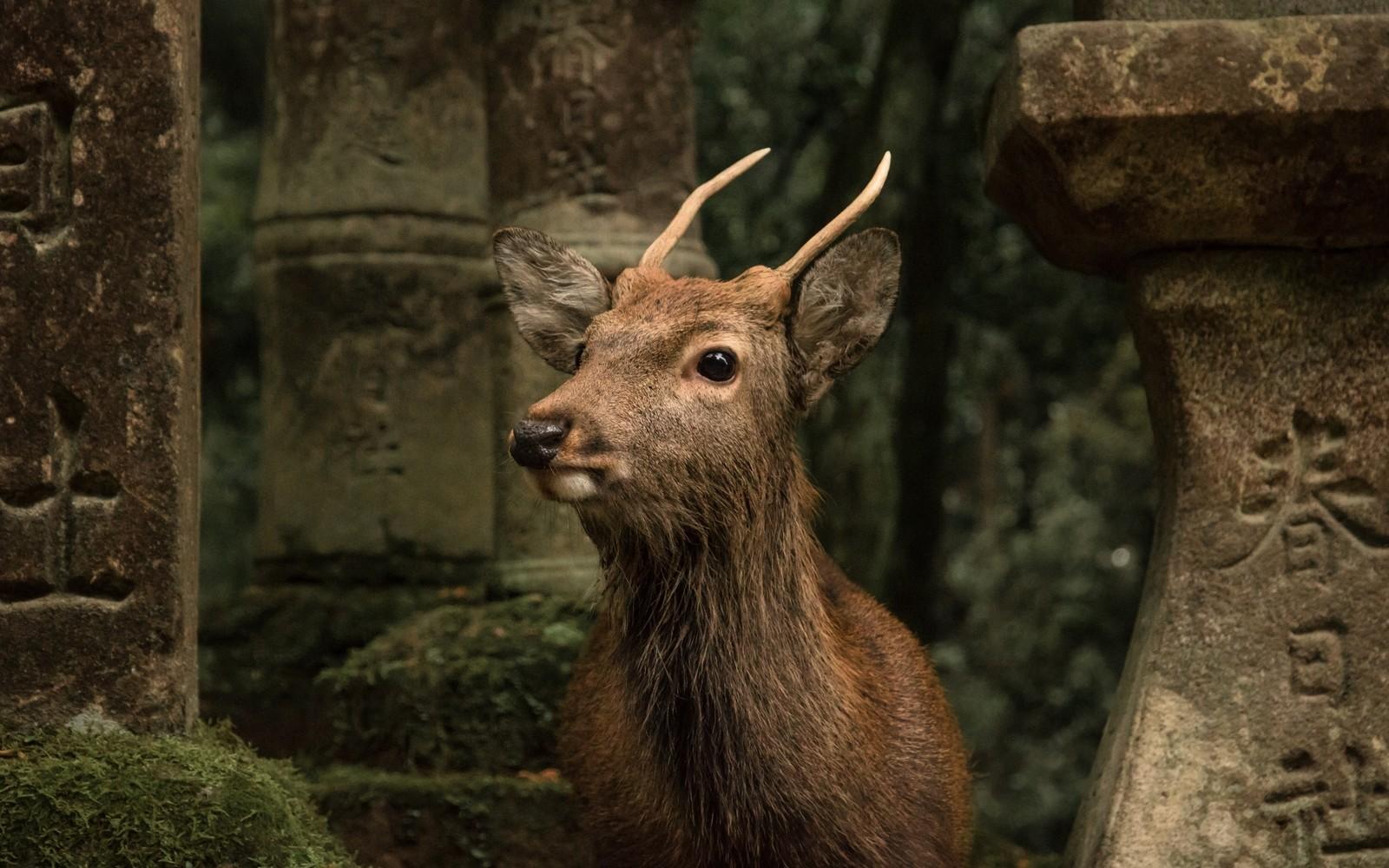 Japanese animals symbolism culture travellocal deer in nara japan buycottarizona Images