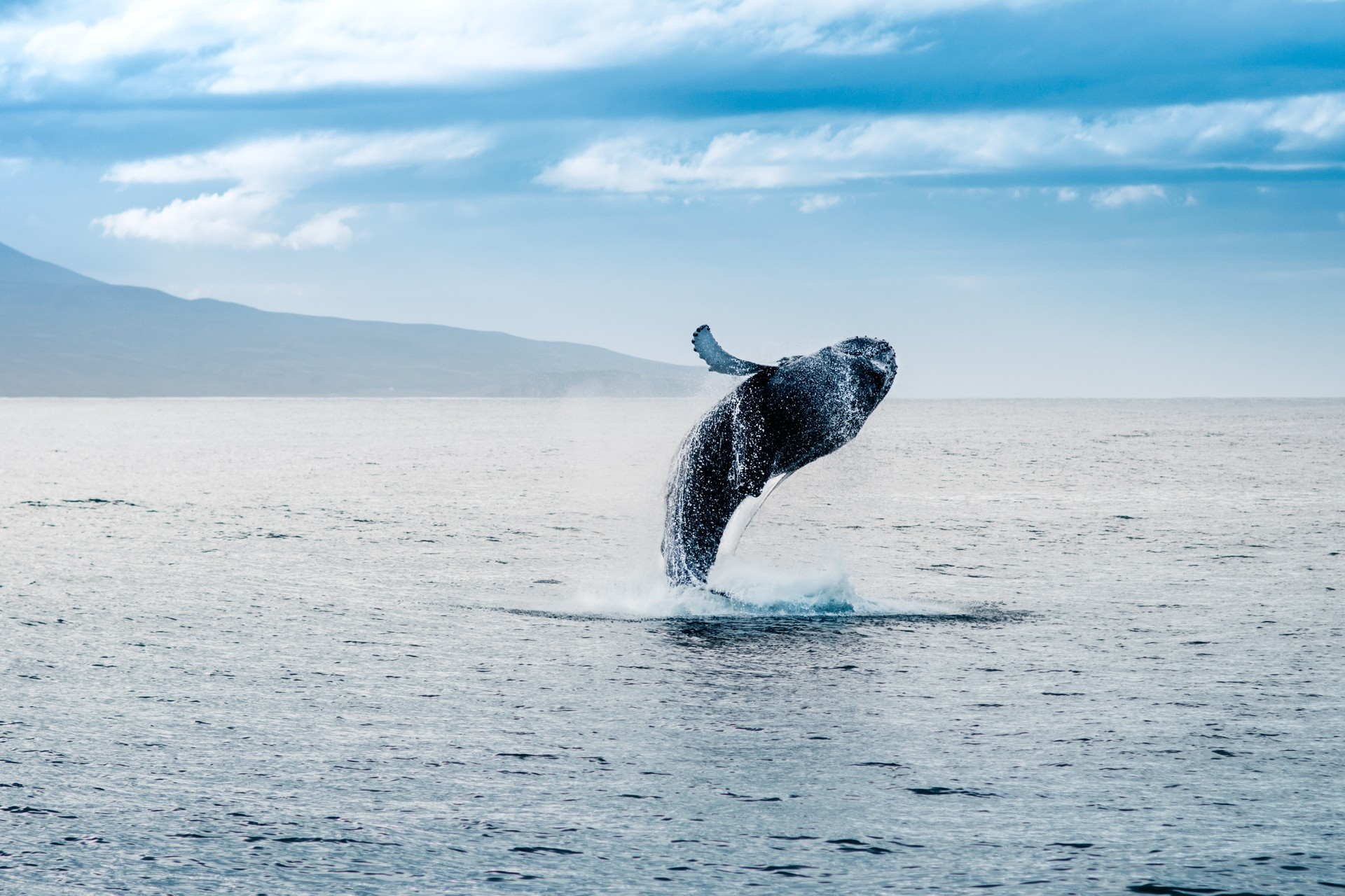 Humpback whale breaching in Iceland