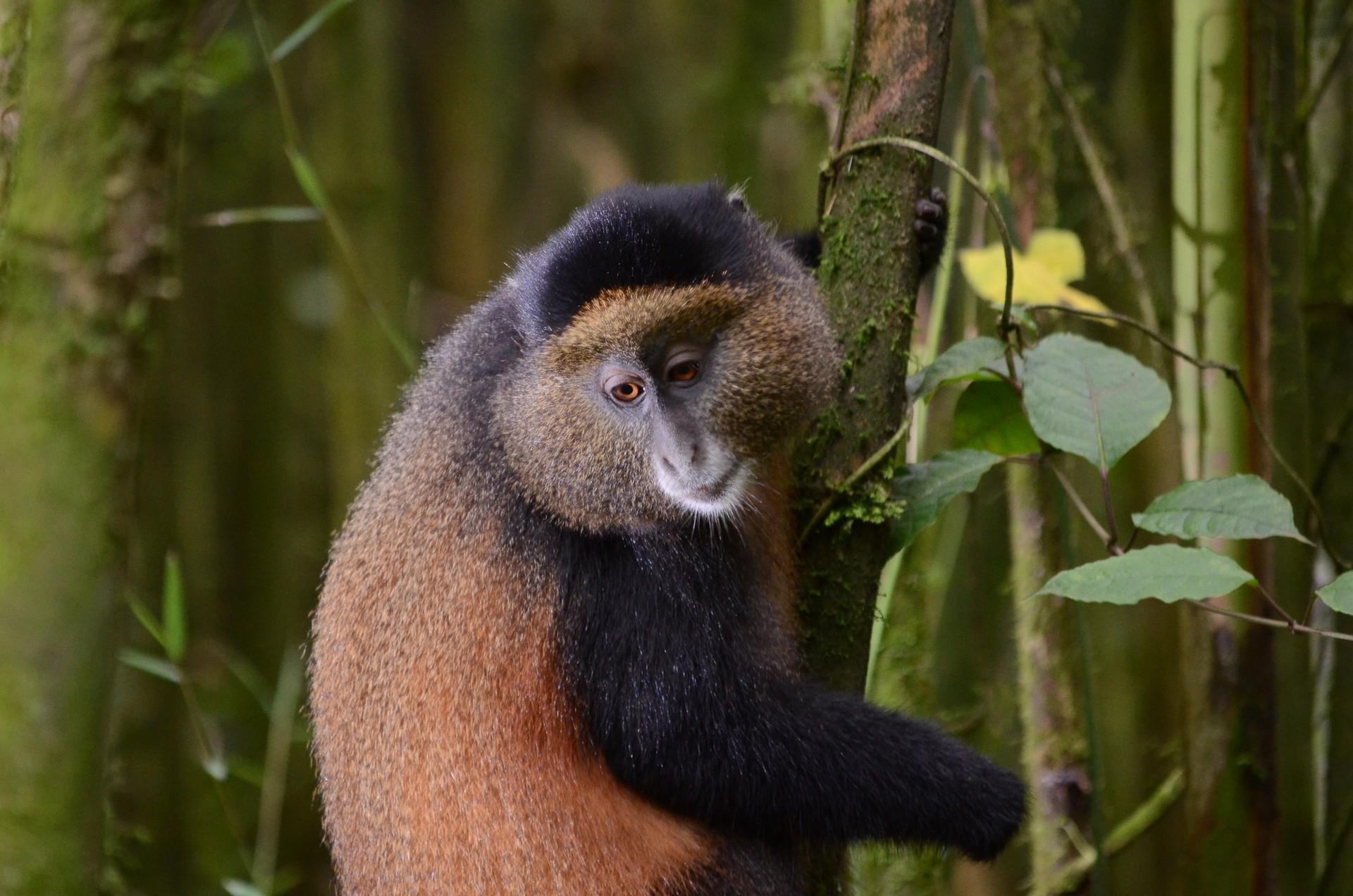 Golden Monkey Uganda