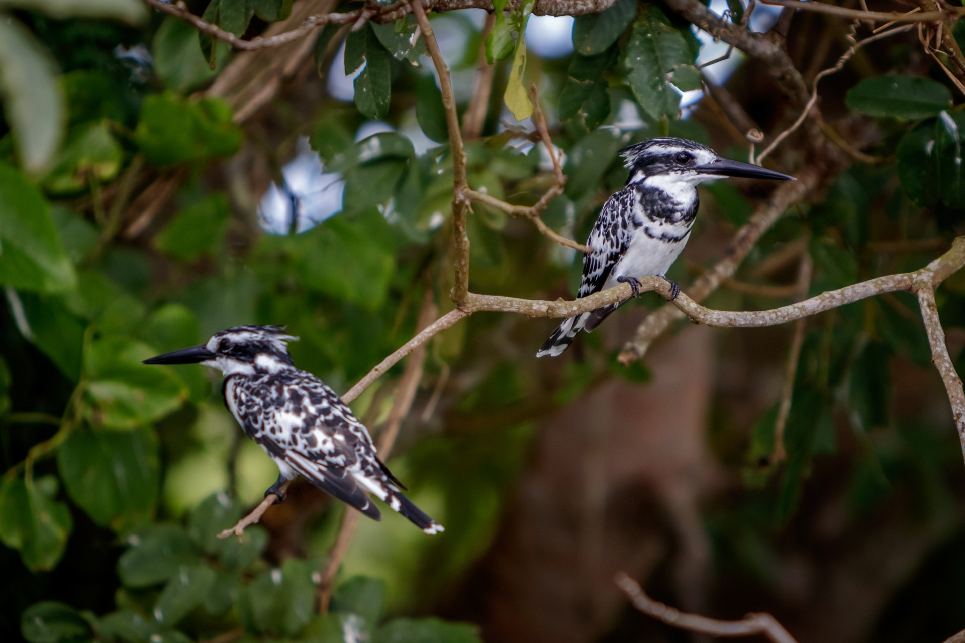 Pied kingfishers in Murchison Falls National Park
