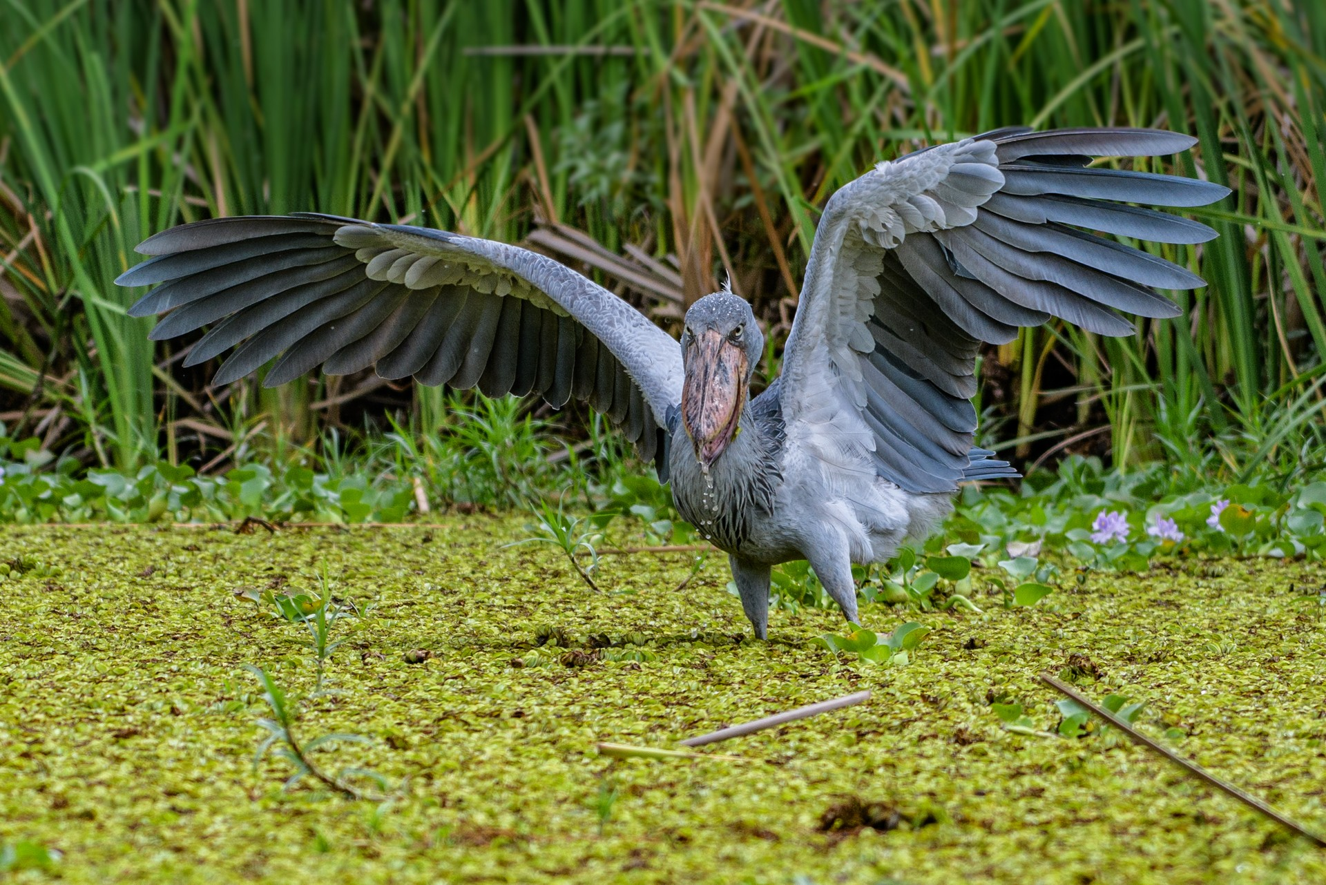 Shoebill stork in Mabamba swamp, Uganda