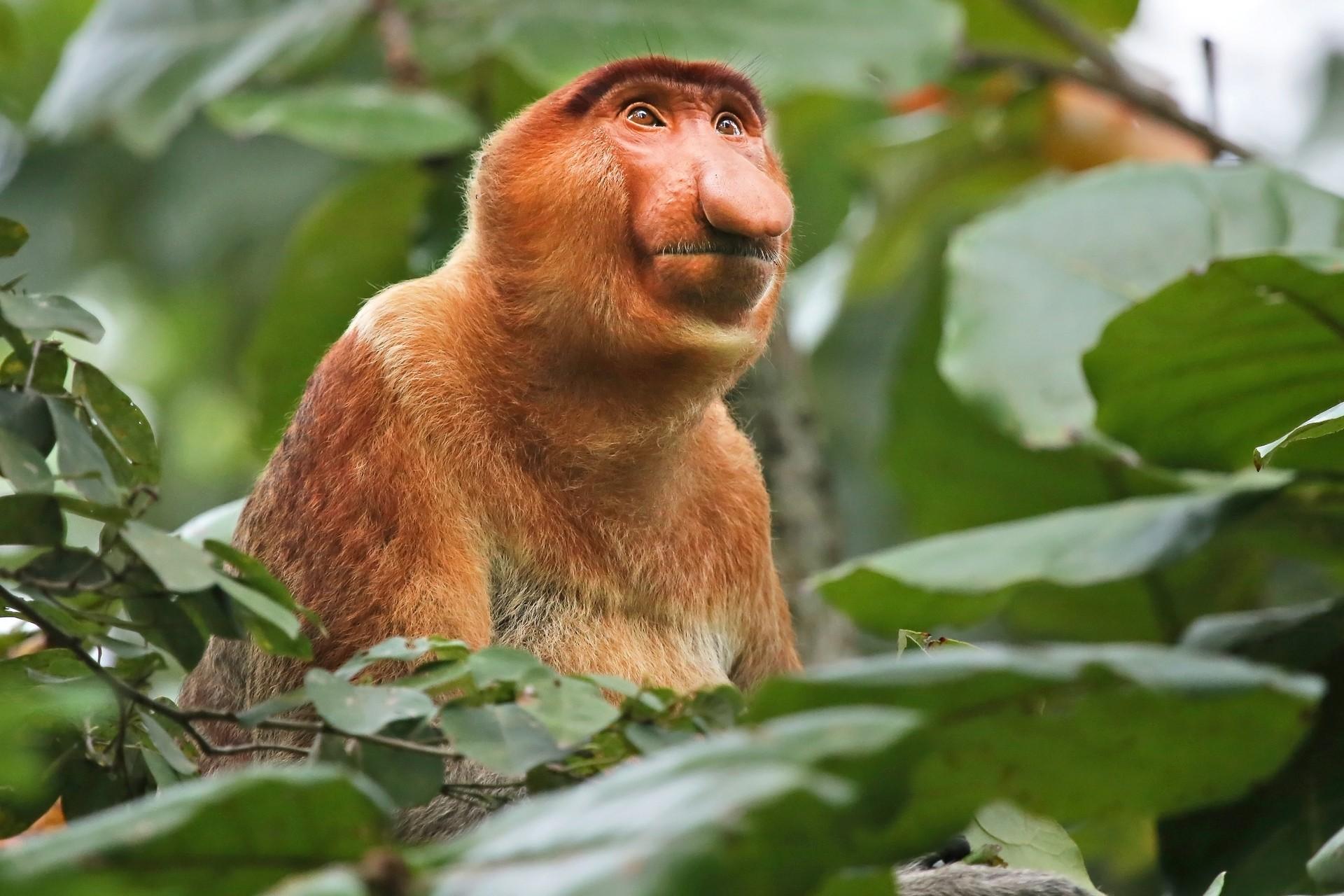 "Proboscis ""Dutchmen"" monkey in Borneo"