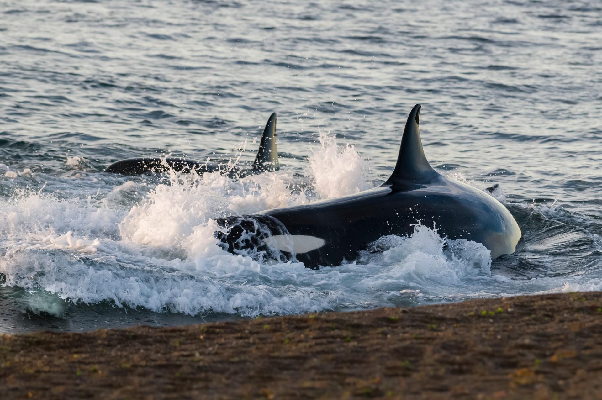 Orcas hunting in Peninsula Valdes, Patagonia