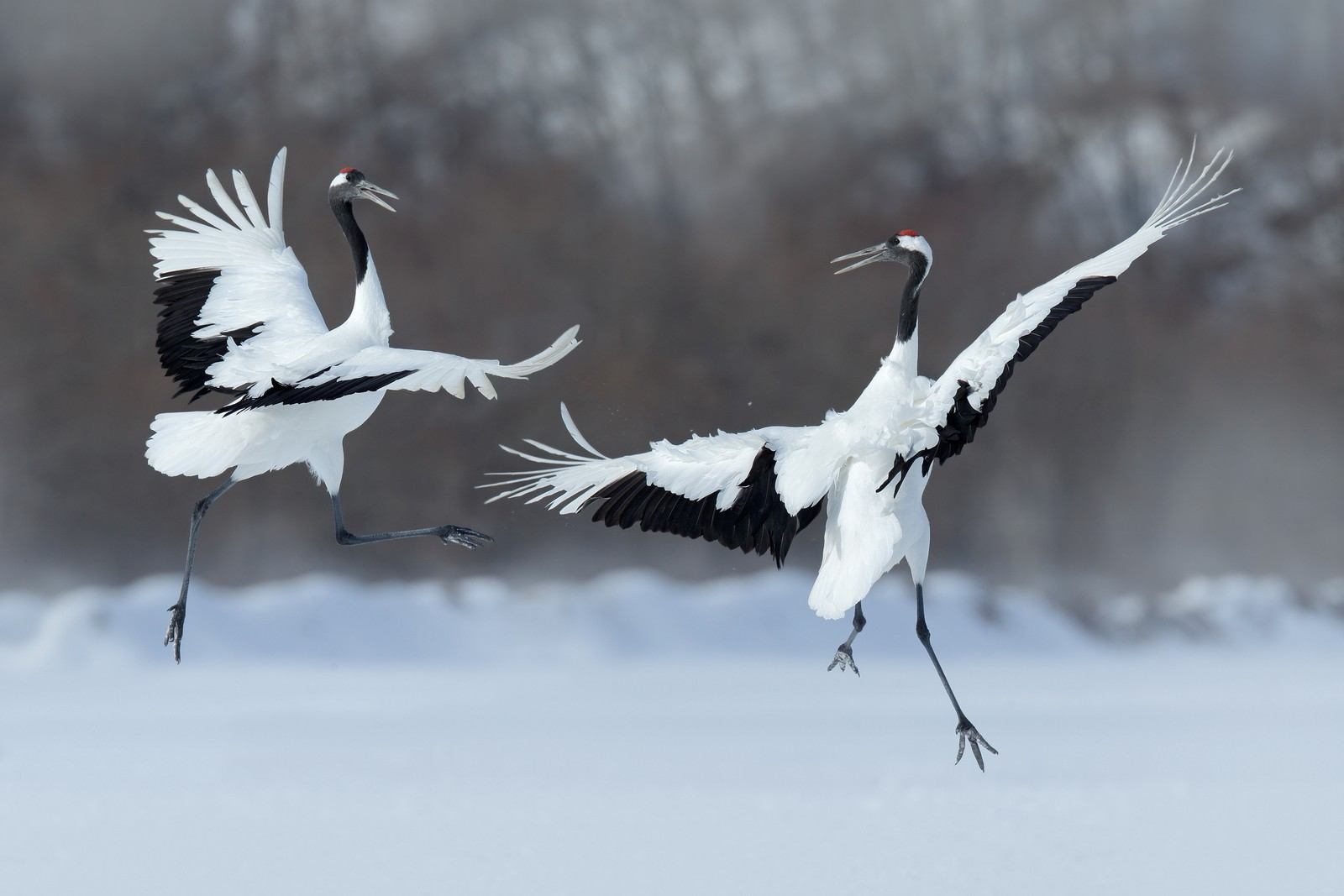 Japanese red crowned crane