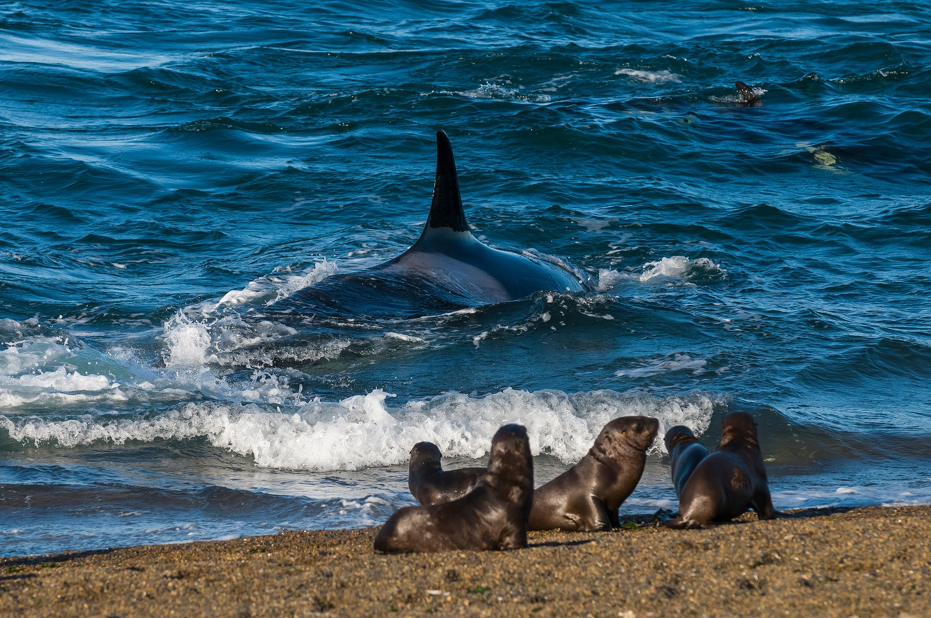 Orca hunting sea lion pups in Patagonia