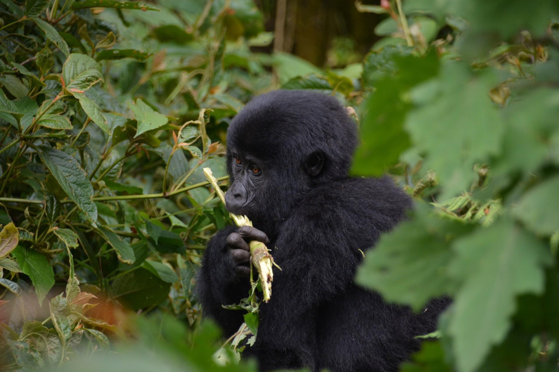 Young gorilla in Bwindi National Park, Uganda