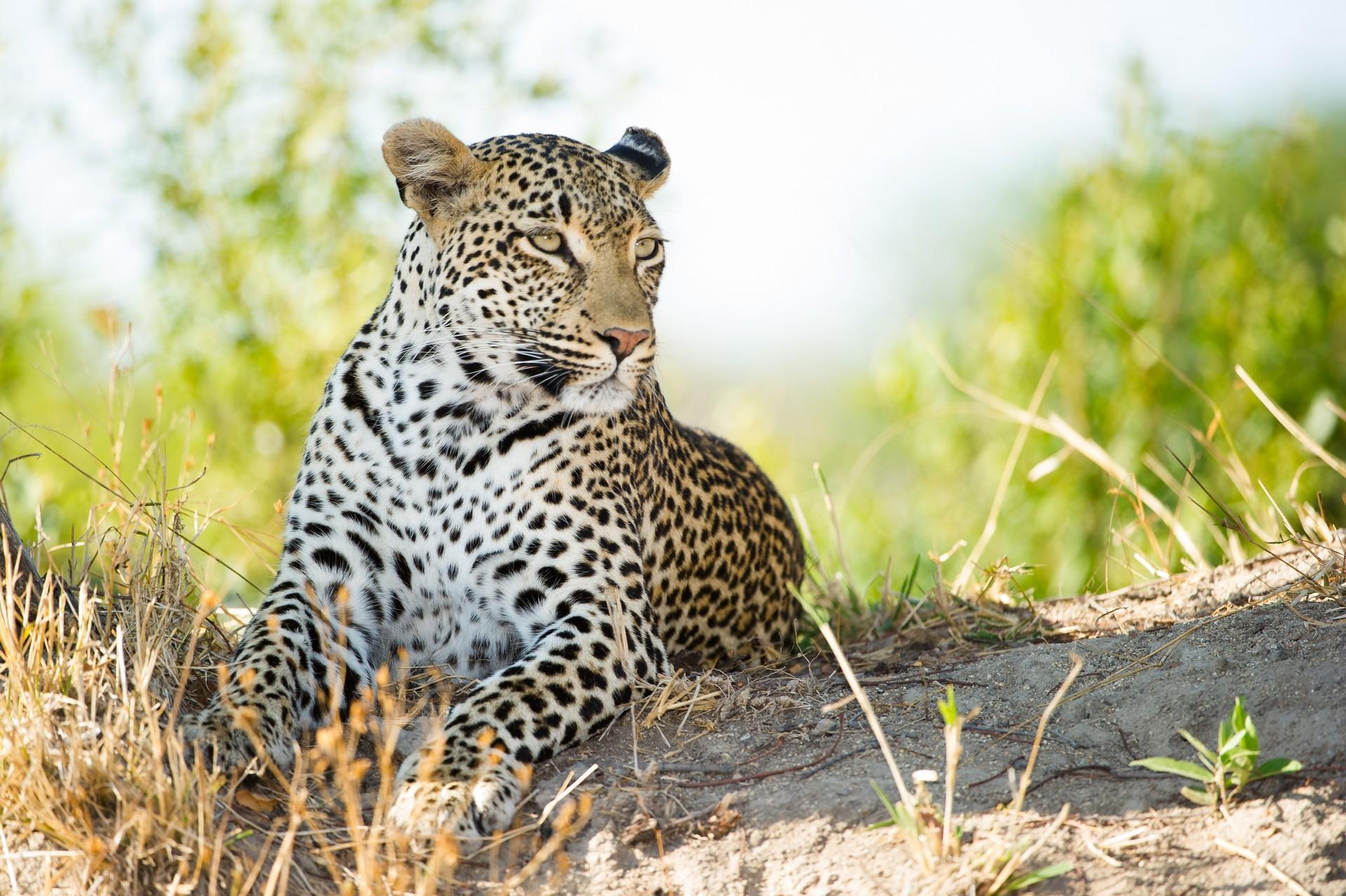Leopard in Kwa-ZuluNatal