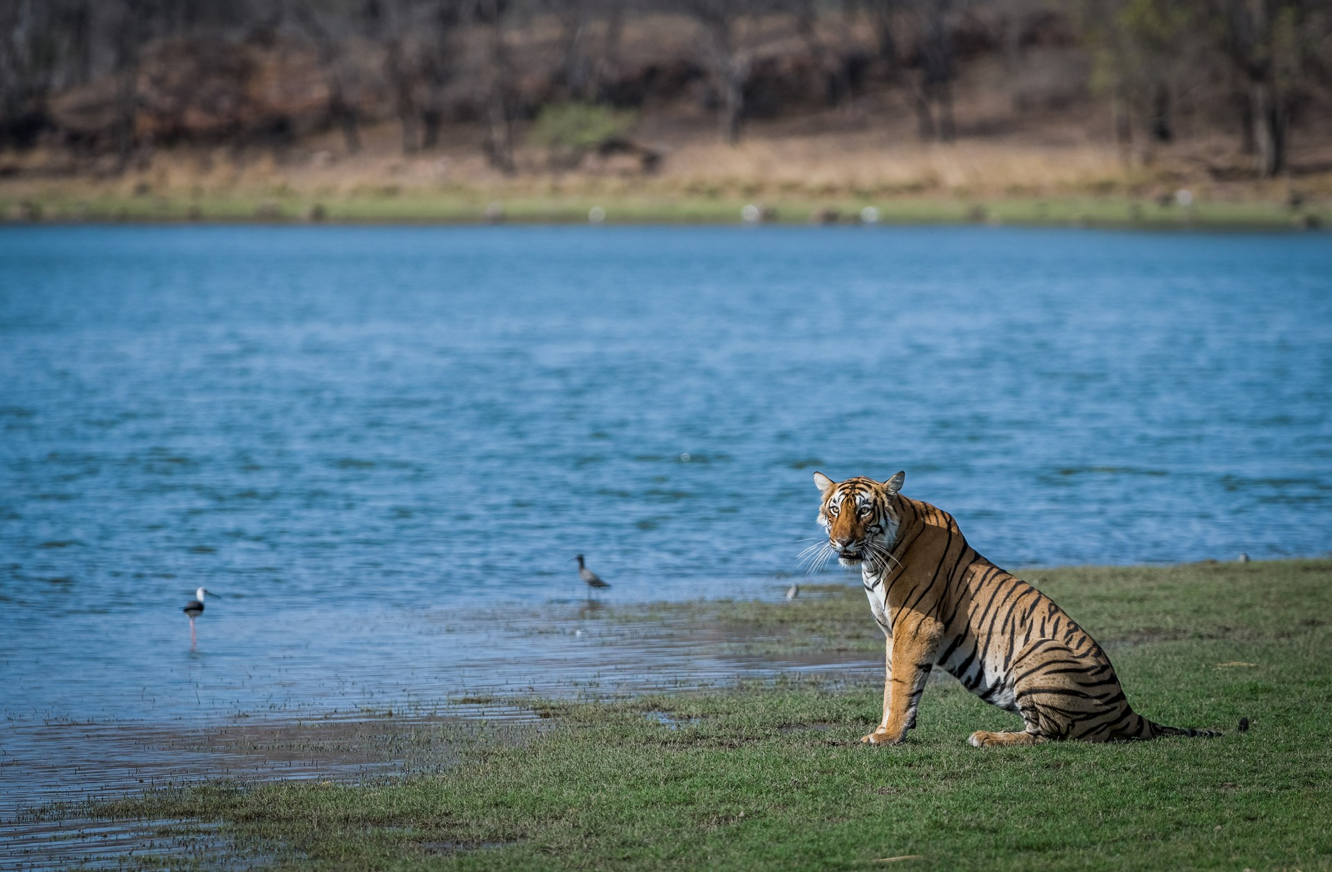 Wild tiger by lake in India