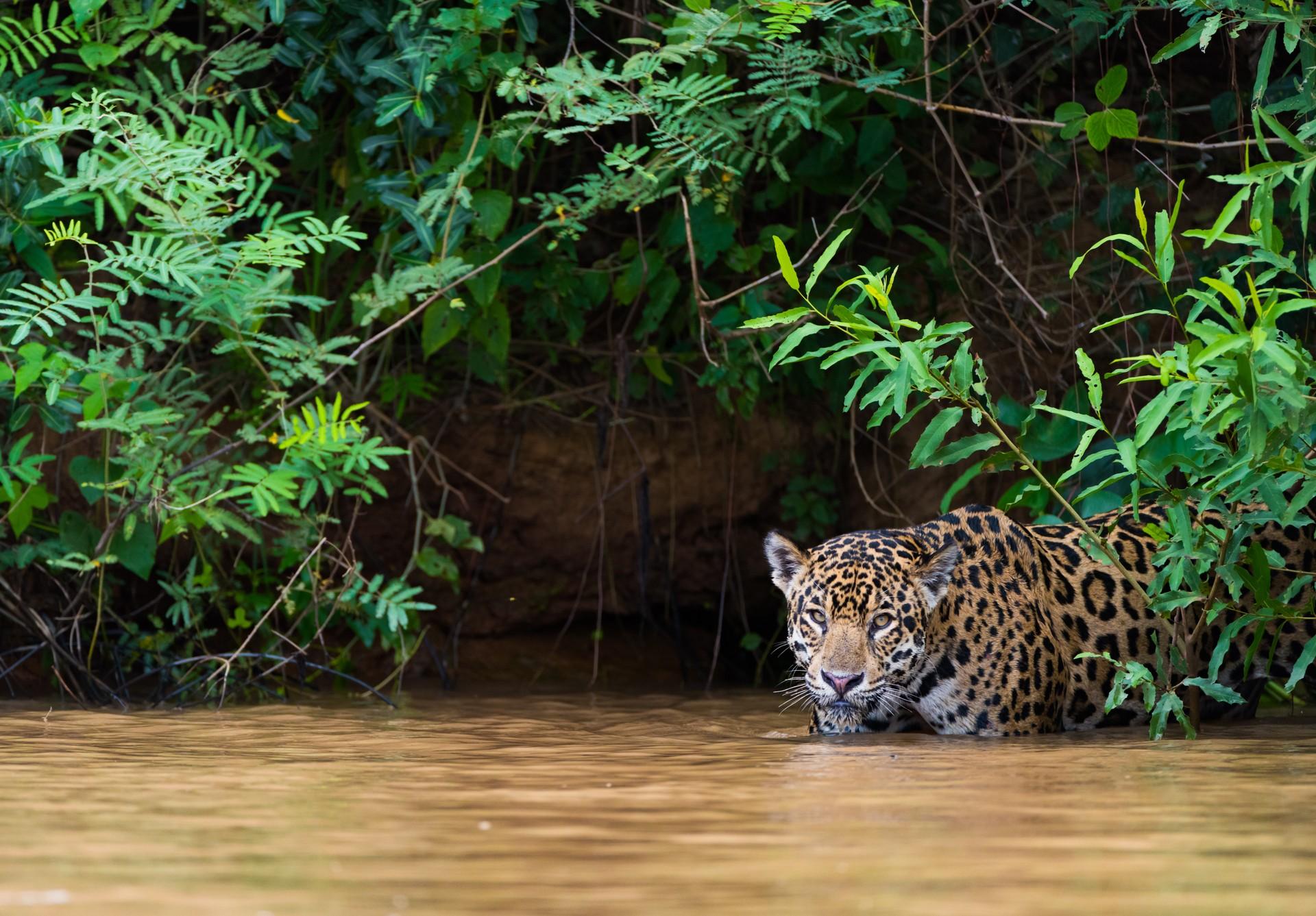 Jaguar hunting in the Pantanal, Brazil