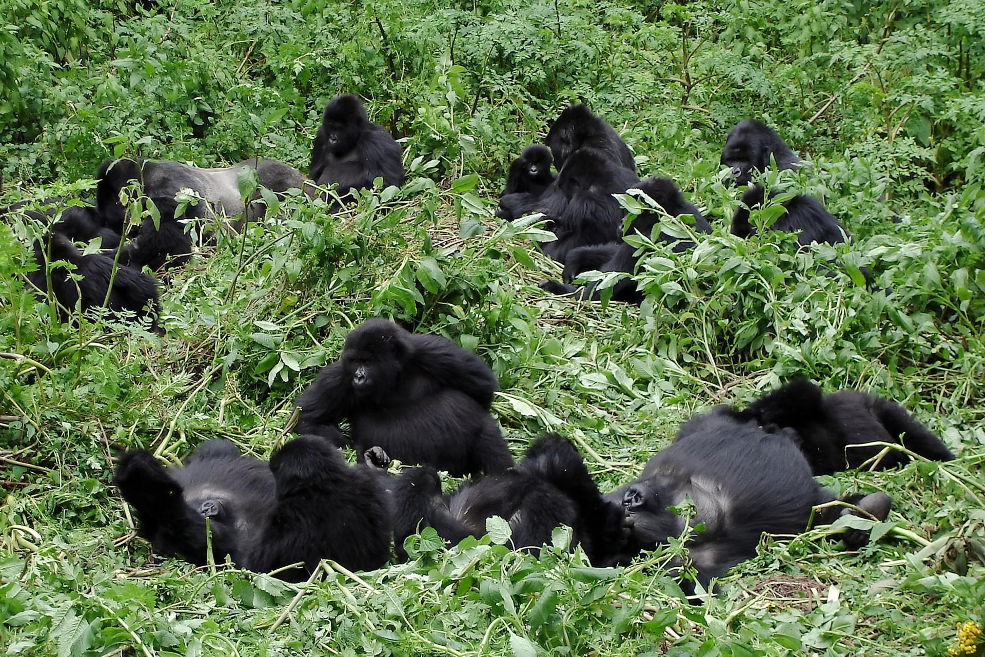family of mountain gorillas in Bwindi National Park Uganda