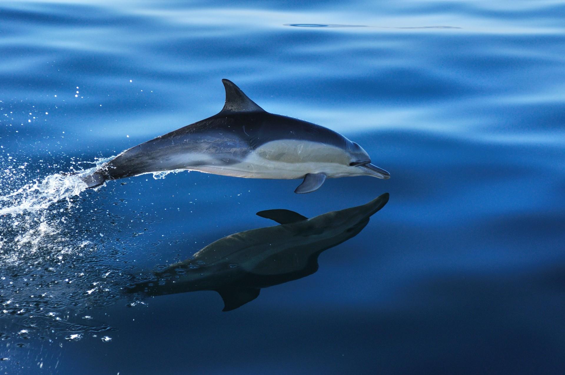 Dolphin near Hermanus, South Africa