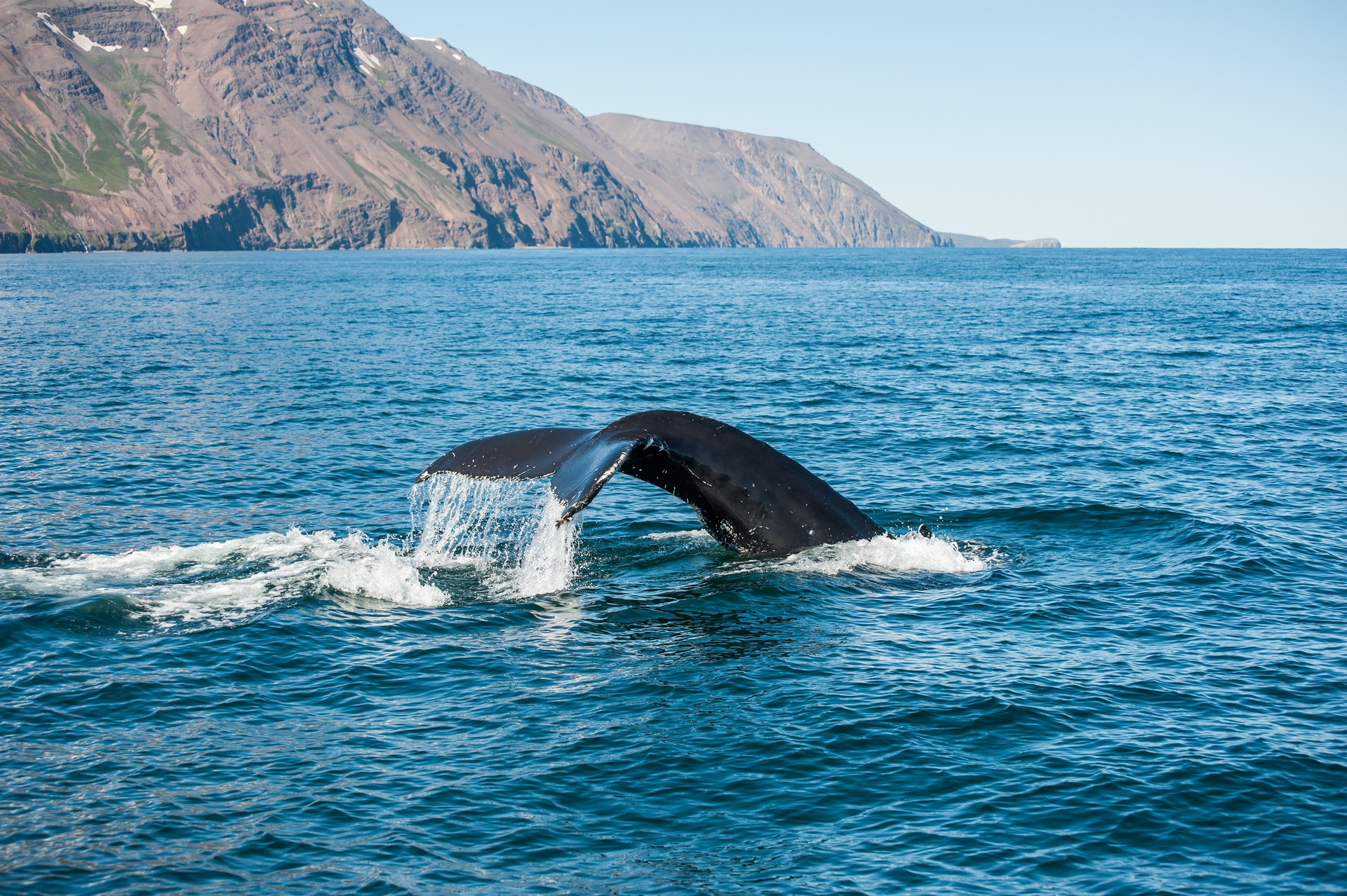 Humpback whale tail in Iceland