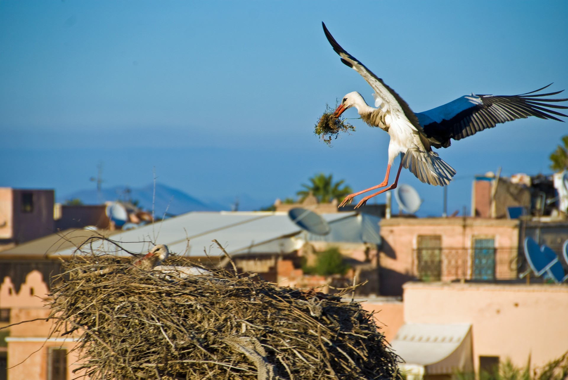 Stork building nest in Marrakesh