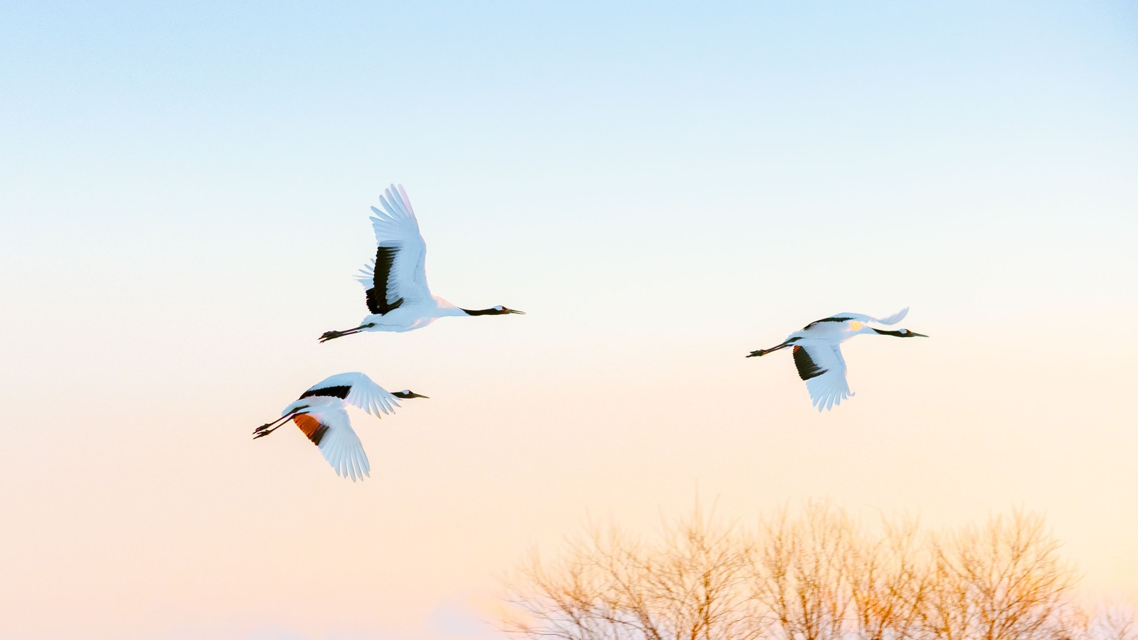 Red crowned cranes flying in Japan