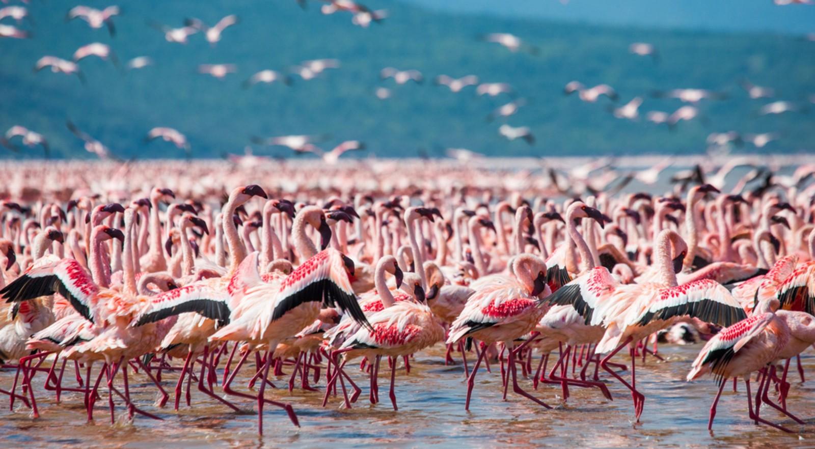 Flamingos on Lake Bogoria