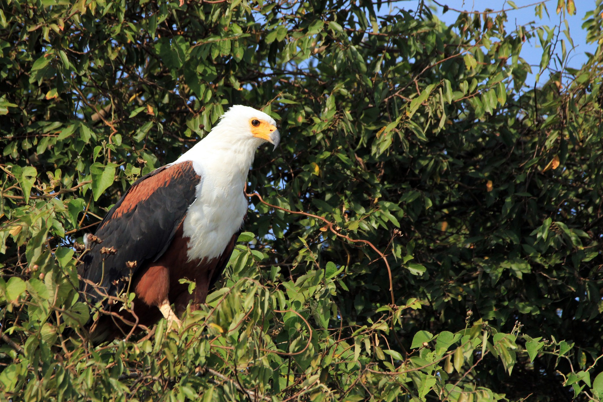 African fish eagle in Lake Mburo National Park, Uganda