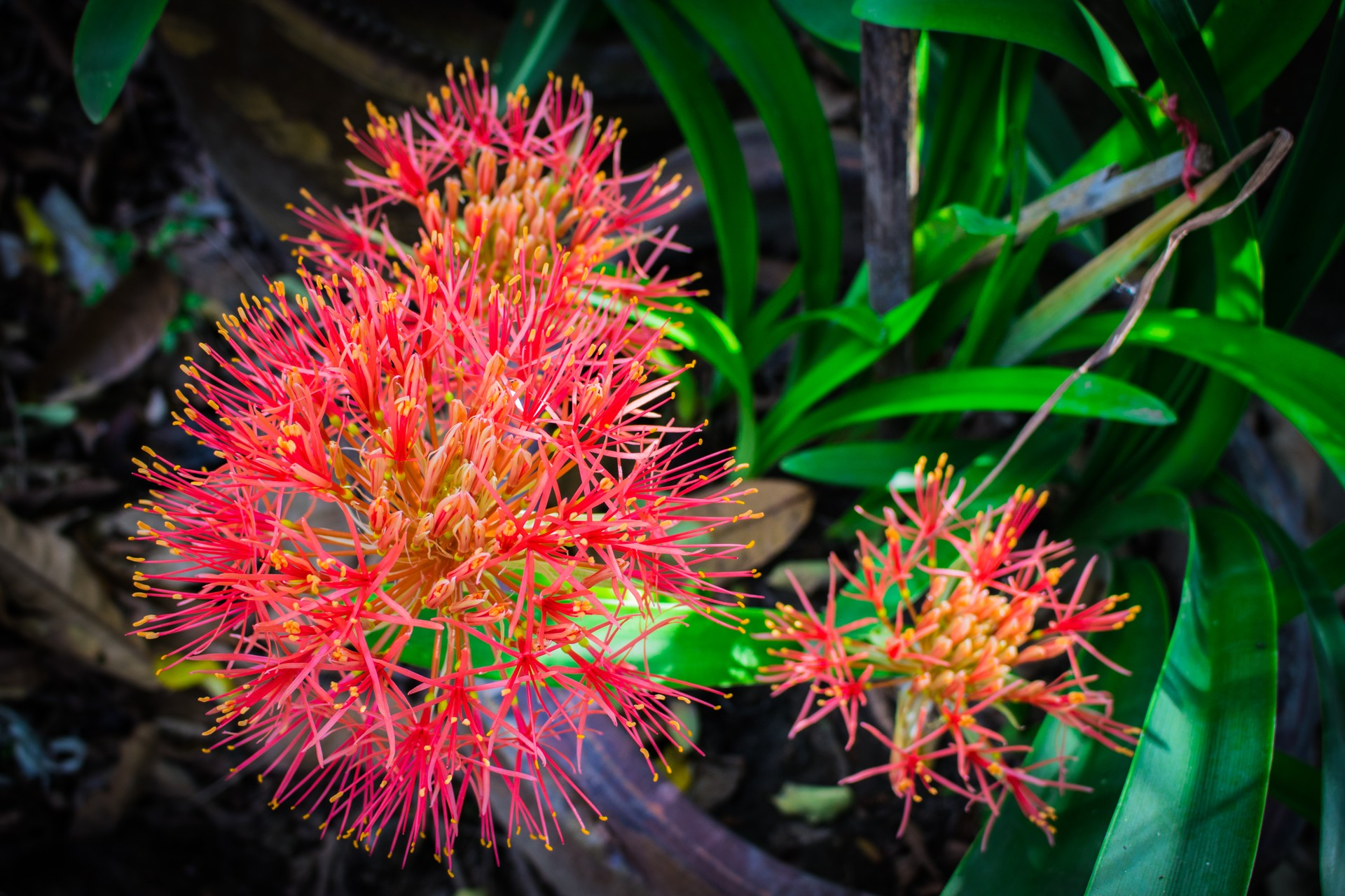 Blood lily in Brazil