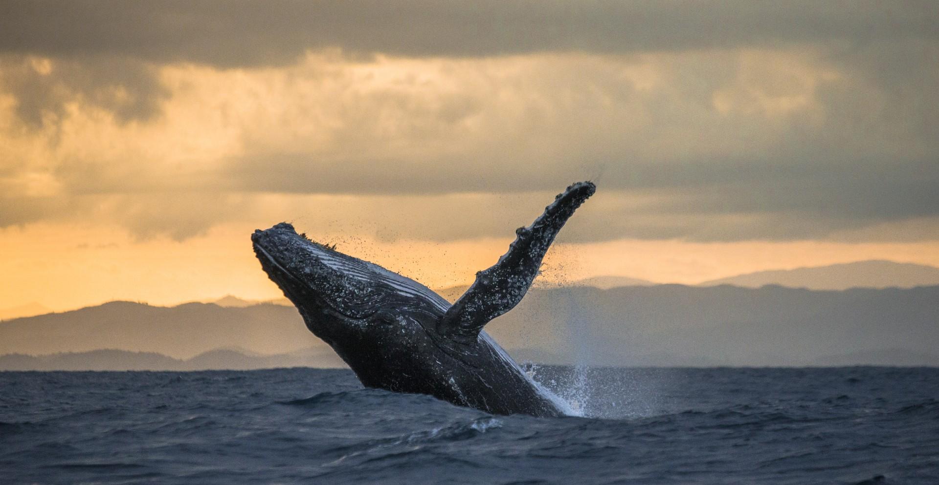 Humpback whale in Madagascar