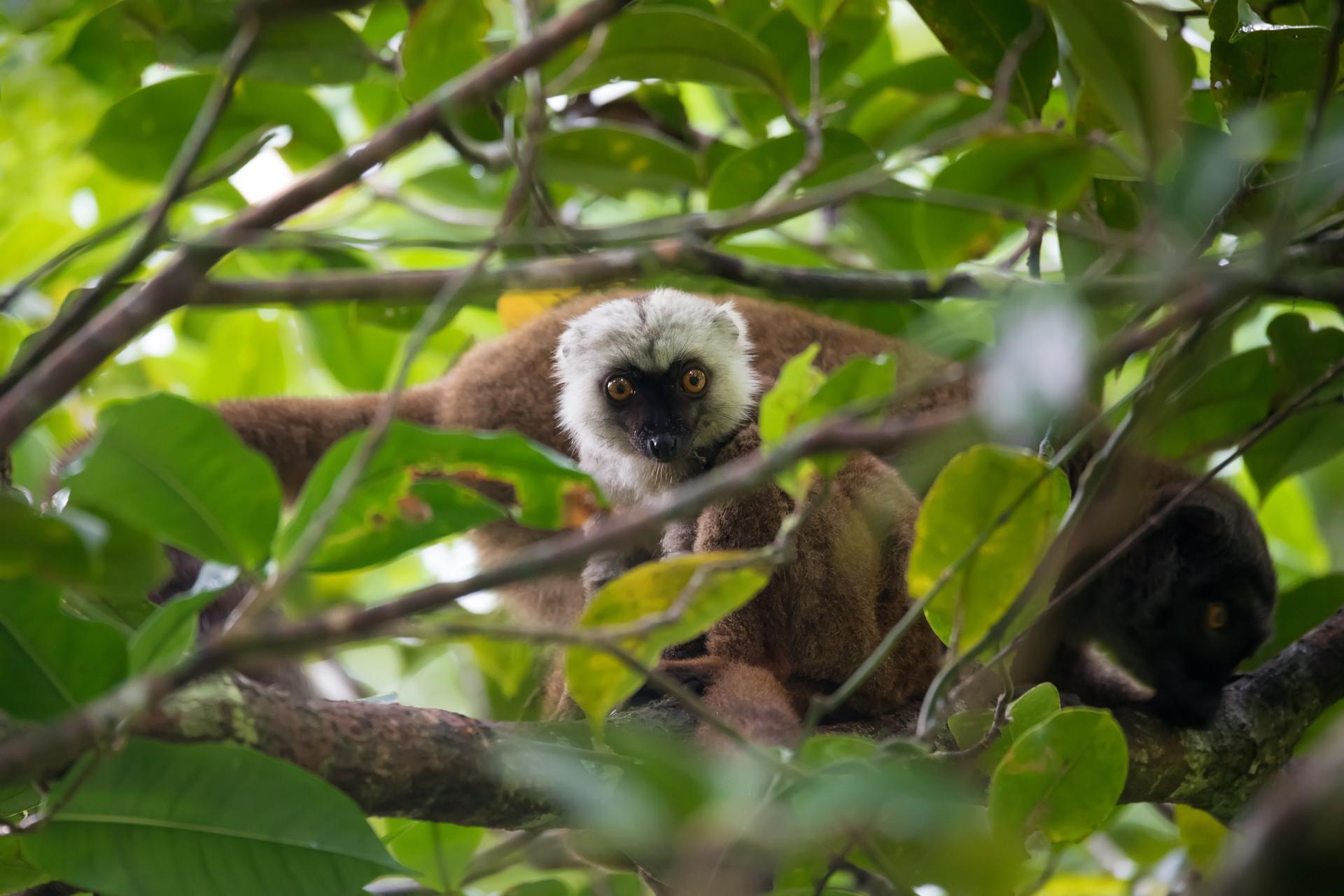 White headed lemur in Masoala National Park