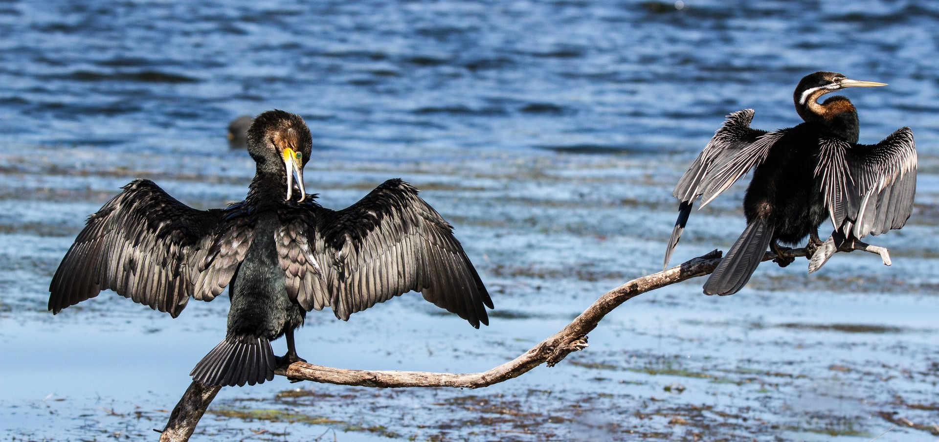 Cormorant and African Darter in Wilderness National Park