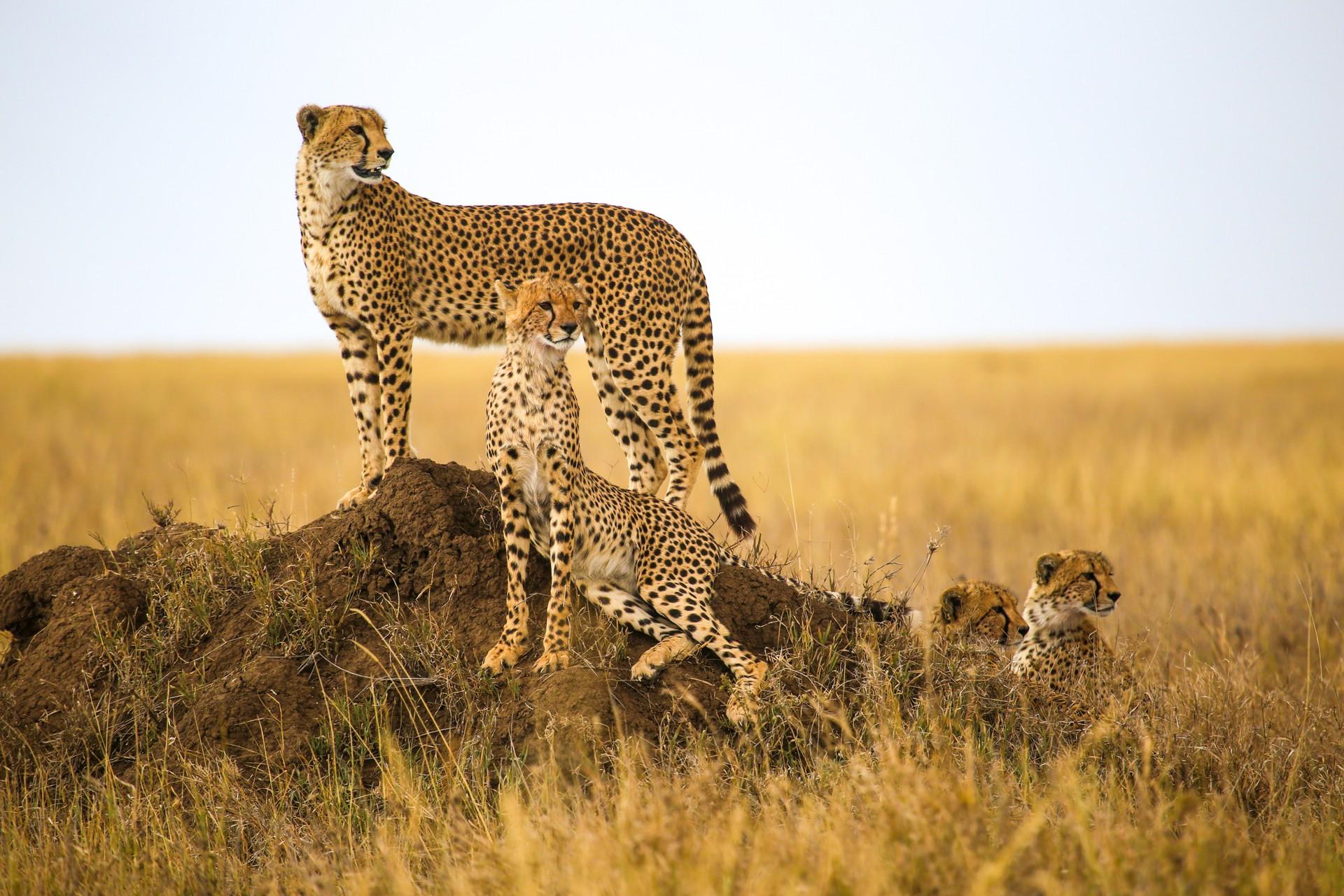 cheetah family in the Serengeti, Tanzania